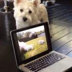 パソコンの子犬の映像をものすごく不思議がる犬