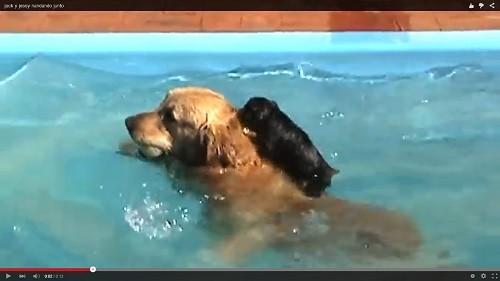 背中に子犬を乗せて泳ぐ天才犬