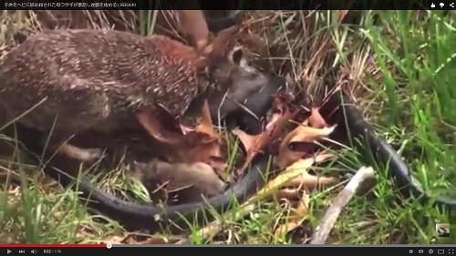 蛇vs母ウサギ