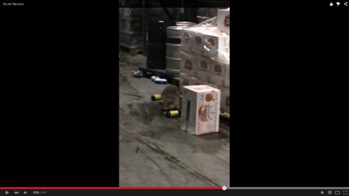 酔っ払いアライグマのおもしろ動画です