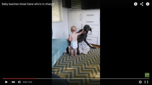 大型犬グレートデンVS赤ちゃん (3)