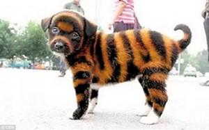 タイガー犬