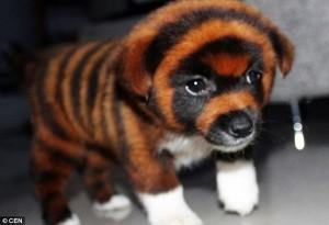 タイガー犬 とくダネ