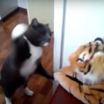 猫vsぬいぐるみの虎 (1)